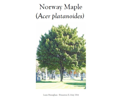 Norway Maple I Final