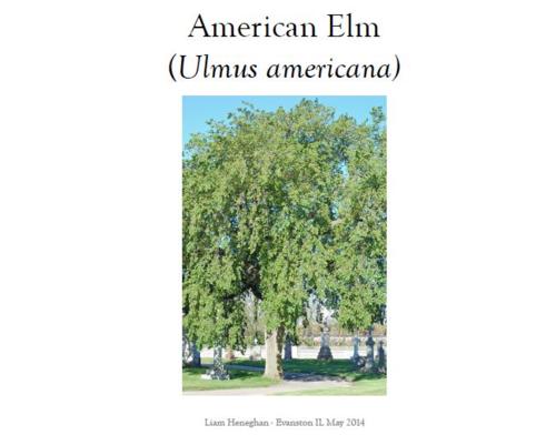 American Elm I Final