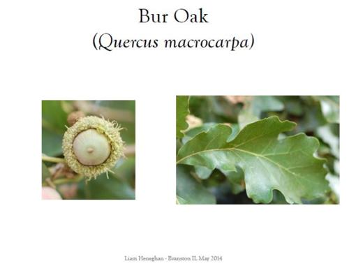 Bur oak II Final